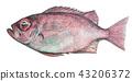 鱼 手绘 咸水鱼 43206372