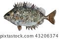 臭肚魚 43206374