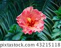 Hawaiian hibiscus are seven species of hibiscus 43215118