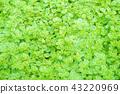 室内盆栽 观叶植物 绿色 43220969