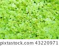 室内盆栽 观叶植物 绿色 43220971
