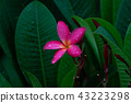 pink Plumeria and green leaves with raindrops 43223298