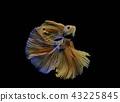 Siamese fighting fish, black backdrop 43225845