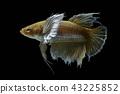 Siamese fighting fish fight yellow fish 43225852