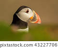 Close up of Atlantic puffin in summer 43227706