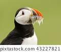 Atlantic puffin with mouth full of sand eels 43227821