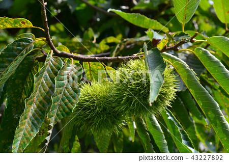 Chestnut tree with many fruits 43227892