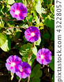 Opened flowers of purple bindweed contribute as a background 43228057
