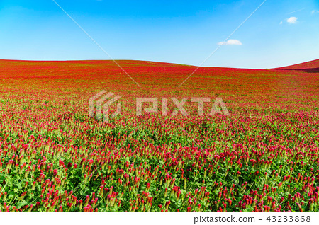 남모라비아평원, 붉은꽃, 키요프, 이탈리아 43233868