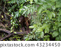 猩猩 猴子 猴 43234450