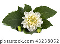 White dahlia flower with green leaves isolated on white background 43238052