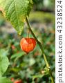 Bladder cherry 43238524