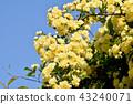 黃色嘲笑開花在三鷹中原 43240071