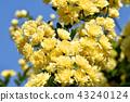 黃色嘲笑開花在三鷹中原 43240124