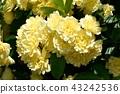 黃色嘲笑開花在三鷹中原 43242536