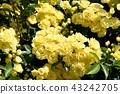 黃色嘲笑開花在三鷹中原 43242705