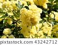 黃色嘲笑開花在三鷹中原 43242712