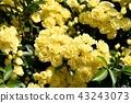 黃色嘲笑開花在三鷹中原 43243073