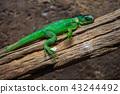 Lesser Antillean Green Iguana  43244492