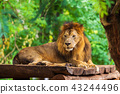lion resting near a tree 43244496