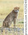 Wild african cheetah 43250240