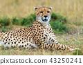 Wild african cheetah 43250241