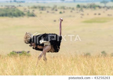 African ostrich (Struthio camelus) 43250263