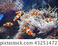 Sea anemone and clown fish 43251472