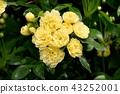 黃色嘲笑開花在三鷹中原 43252001