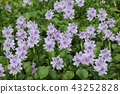 eichhornia crassipes, bloom, flower 43252828