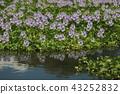 eichhornia crassipes, bloom, flower 43252832