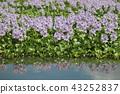 eichhornia crassipes, bloom, flower 43252837