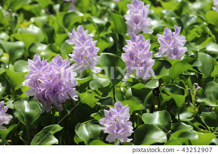 Water hyacinth of Honyakushi Temple 43252907