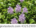 eichhornia crassipes, bloom, flower 43252909