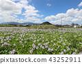 eichhornia crassipes, bloom, flower 43252911