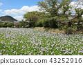 eichhornia crassipes, bloom, flower 43252916