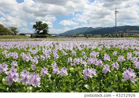 Water hyacinth of Honyakushi Temple 43252926