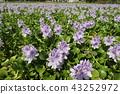 eichhornia crassipes, bloom, flower 43252972