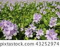 eichhornia crassipes, bloom, flower 43252974