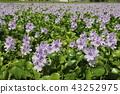 eichhornia crassipes, bloom, flower 43252975