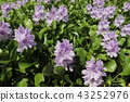 eichhornia crassipes, bloom, flower 43252976