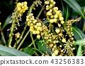매자나무과, 상록 관목, 정원수 43256383