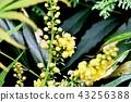매자나무과, 상록 관목, 정원수 43256388