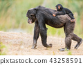 Common chimpanzee with a baby chimpanzee 43258591