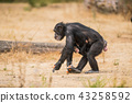 Common chimpanzee with a baby chimpanzee 43258592