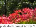 开花在盛开的Nazukuda风景 43260671