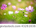 pink and purple cosmos flowers  43261636