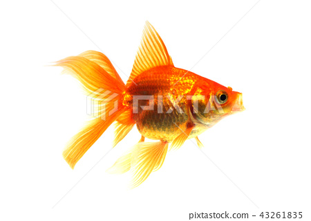 金魚打呵欠 43261835