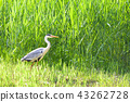 grey heron, gray heron, heron 43262728