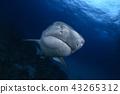 鯊魚 海 大海 43265312
